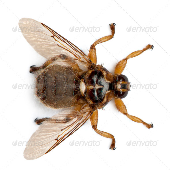 Hippobosca equina, or the Forest fly, Hippoboscidae, in front of white background - Stock Photo - Images