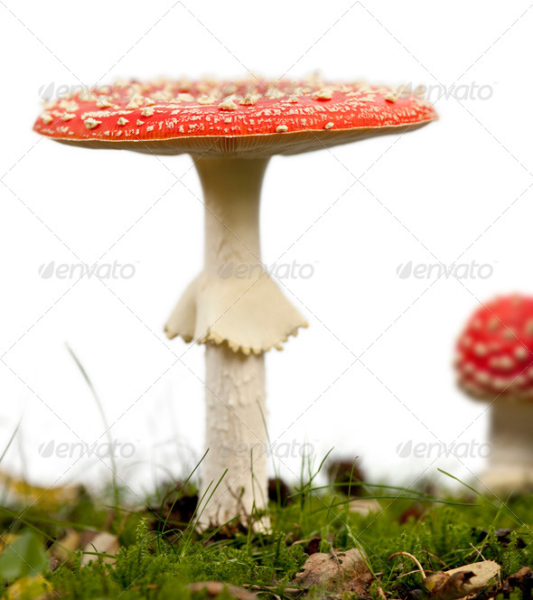 Fly agaric or fly Amanita mushrooms, Amanita muscaria, in front of white background - Stock Photo - Images