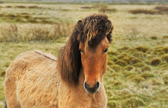 Iceland horses pony - Stock Photo - Images