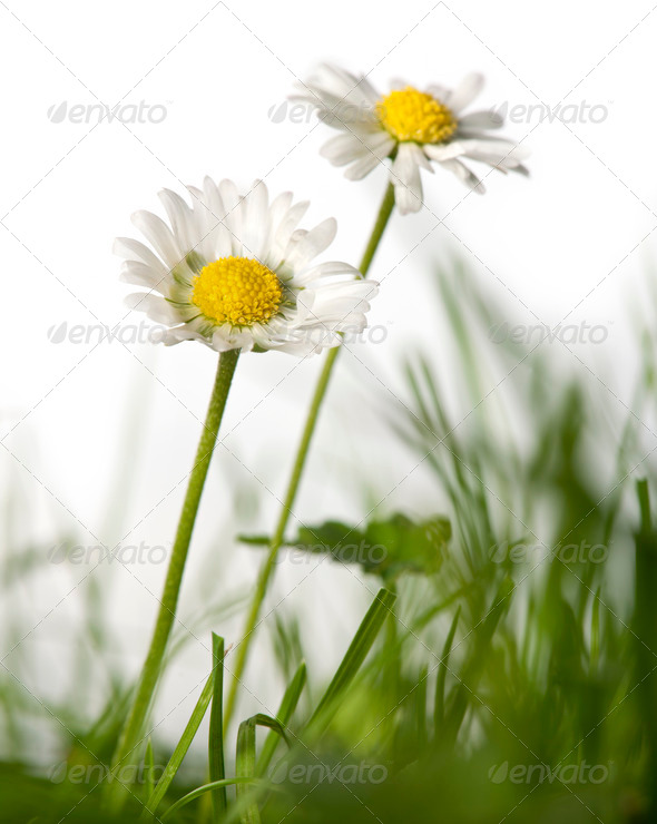 Daisies in grass in front of white background - Stock Photo - Images