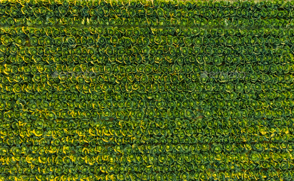Sunset over a field of cabbage aerial view from above - Stock Photo - Images