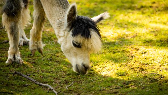 Furry white lama in zoo Austria Styria Herberstein tourist destination autumn time - Stock Photo - Images