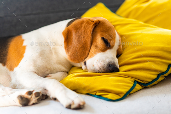 Funny Beagle dog tired sleeps on a cozy sofa, couch, on yellow cushion - Stock Photo - Images