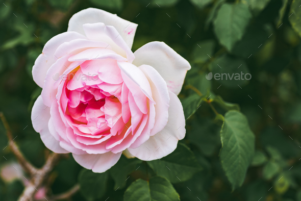 Pink Rose on the Branch in the Garden - Stock Photo - Images