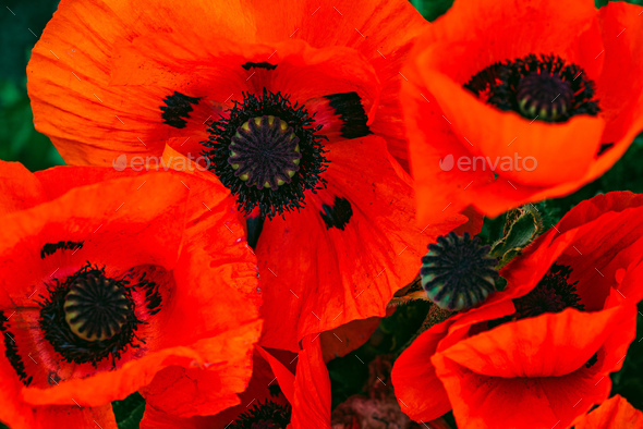 Beautifull vibrant huge poppy flowers growing togheter - Stock Photo - Images