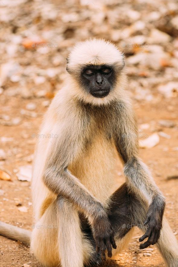 Goa, India. Gray Langur Monkey Sitting On Ground. Monkey With Closed Eyes Relax Sitting - Stock Photo - Images