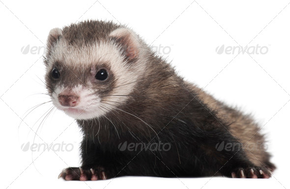 Ferret, 6 months old, in front of white background - Stock Photo - Images