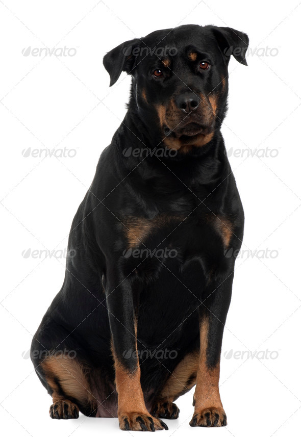 Rottweiler, 4 years old, sitting in front of white background - Stock Photo - Images