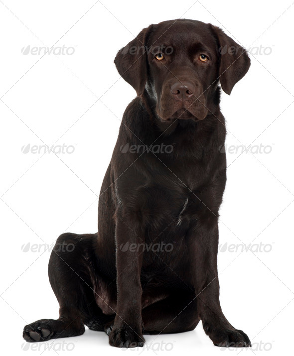 Labrador Retriever puppy, 6 months old, sitting in front of white background - Stock Photo - Images