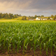 Selective focus early morning view of young corn and a farm on a rainy day - PhotoDune Item for Sale