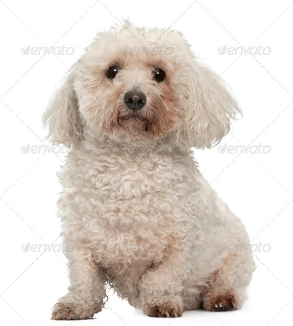 Bichon Fris?©, 8 years old, sitting in front of white background - Stock Photo - Images
