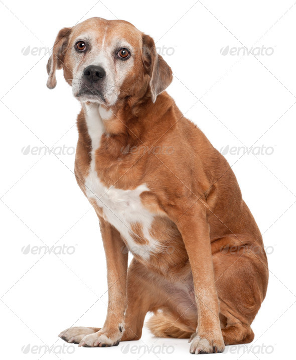 Old Mixed-breed dog, 13 years old, sitting in front of white background - Stock Photo - Images