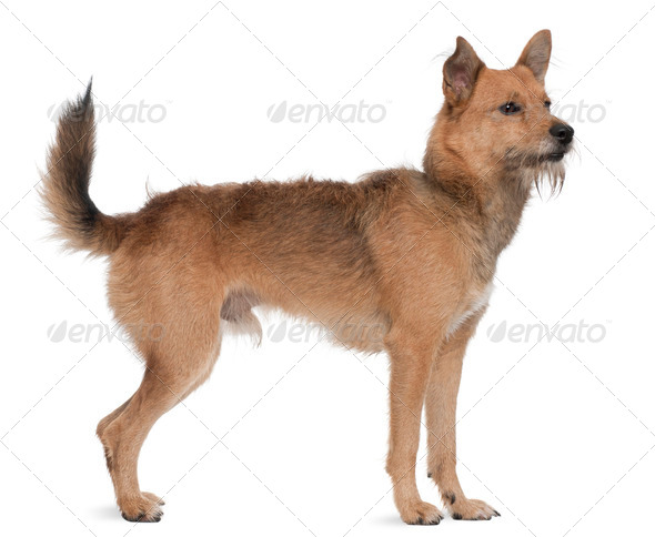 Mixed breed dog, 3 years old, standing in front of white background - Stock Photo - Images