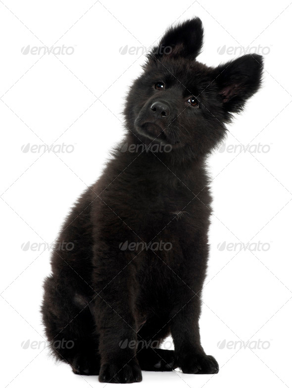 German Shepherd Dog puppy, 10 weeks old, sitting in front of white background - Stock Photo - Images