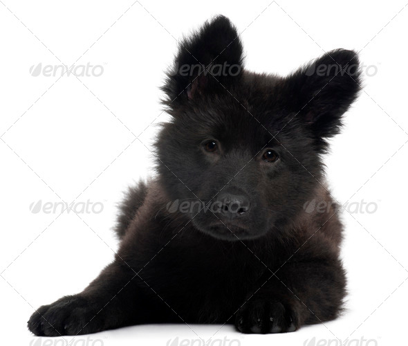 German Shepherd Dog puppy, 10 weeks old, lying in front of white background - Stock Photo - Images