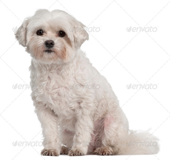 Coton de Tulear, 7 years old, sitting in front of white background - Stock Photo - Images