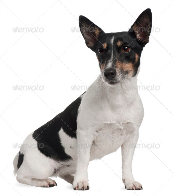 Jack Russell Terrier, 5 years old, sitting in front of white background - Stock Photo - Images