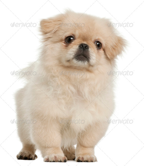 Pekingese puppy, 5 months old, standing in front of white background - Stock Photo - Images