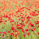 Poppy flowers in the sun. - PhotoDune Item for Sale