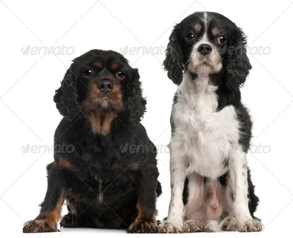 Cavalier King Charles Spaniels, 9 and 7 years old, in front of white background - Stock Photo - Images
