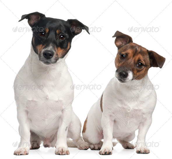 Jack Russell Terriers, 4 and 2 years old, sitting in front of white background - Stock Photo - Images