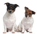 Jack Russell Terriers, 4 and 2 years old, sitting in front of white background