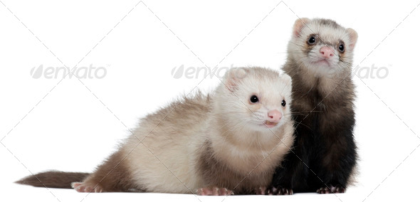 Ferrets, 8 months old, in front of white background - Stock Photo - Images