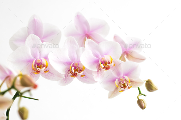 light pink orchid flowers isolated on white background closeup - Stock Photo - Images