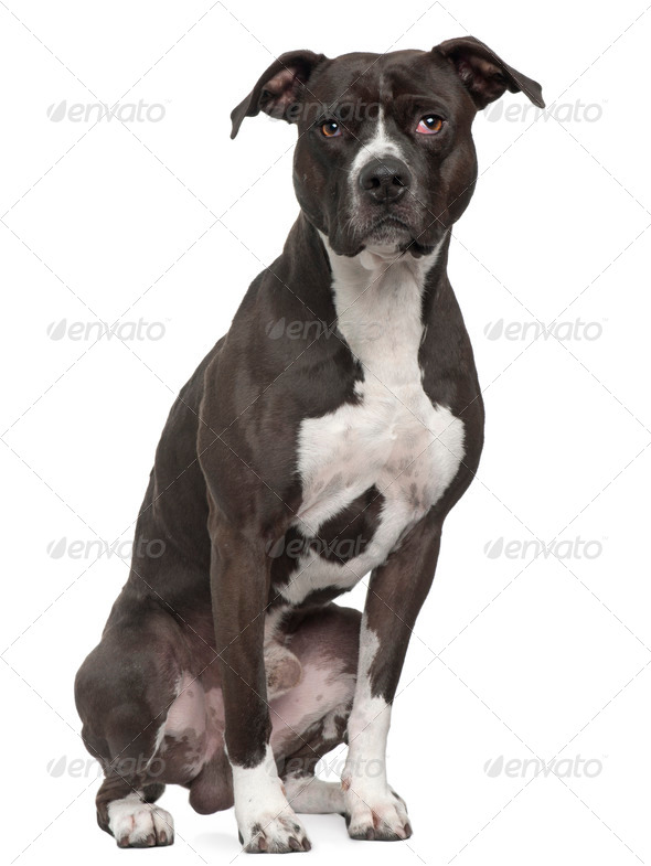 American Pit Bull Terrier, 5 years old, sitting in front of white background - Stock Photo - Images