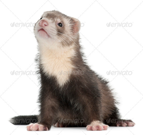 Ferret, 3 months old, sitting in front of white background - Stock Photo - Images