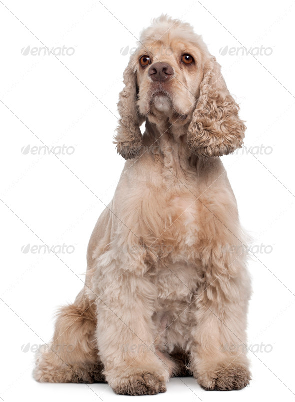 American Cocker Spaniel, 6 years old, sitting in front of white background - Stock Photo - Images