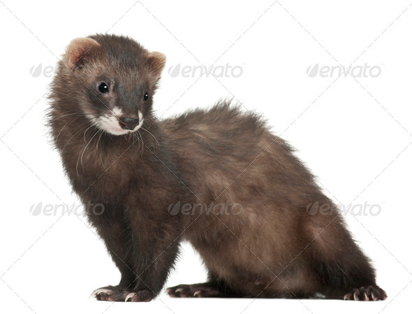 Ferret, 5 months old, standing in front of white background - Stock Photo - Images