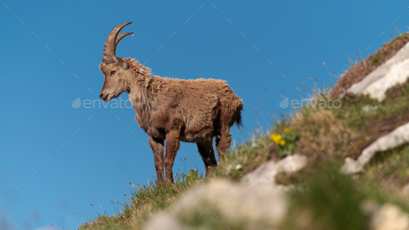 Alpine ibex high in the mountains - Stock Photo - Images