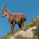Alpine ibex high in the mountains - PhotoDune Item for Sale