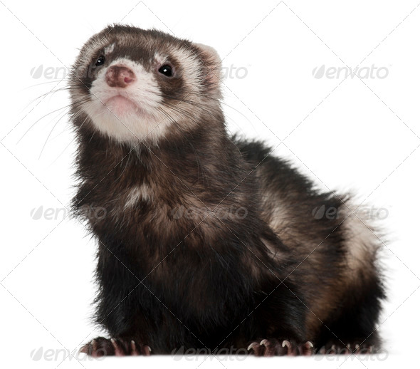 Ferret, 2 years old, in front of white background - Stock Photo - Images
