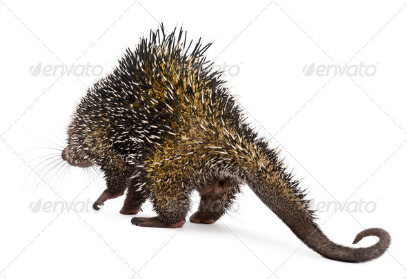 Rear view of Brazilian Porcupine, Coendou prehensilis, walking in front of white background - Stock Photo - Images