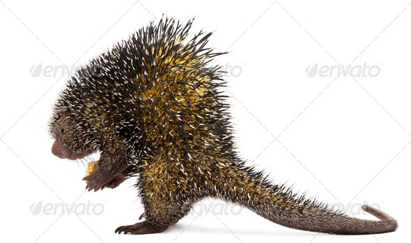 Side view of Brazilian Porcupine, Coendou prehensilis, standing in front of white background - Stock Photo - Images