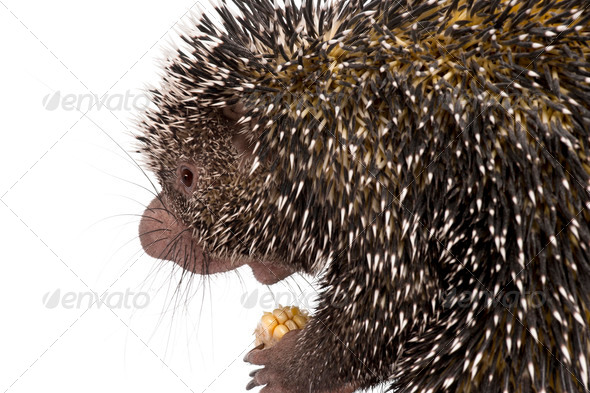 Close-up of Brazilian Porcupine, Coendou prehensilis, holding corn in front of white background - Stock Photo - Images