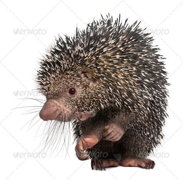Brazilian Porcupine, Coendou prehensilis, standing in front of white background - Stock Photo - Images