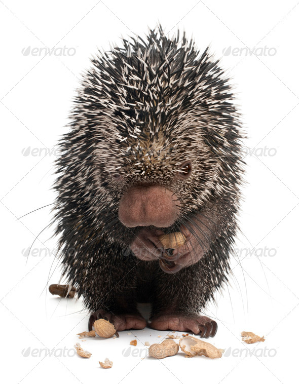 Brazilian Porcupine, Coendou prehensilis, eating peanuts in front of white background - Stock Photo - Images
