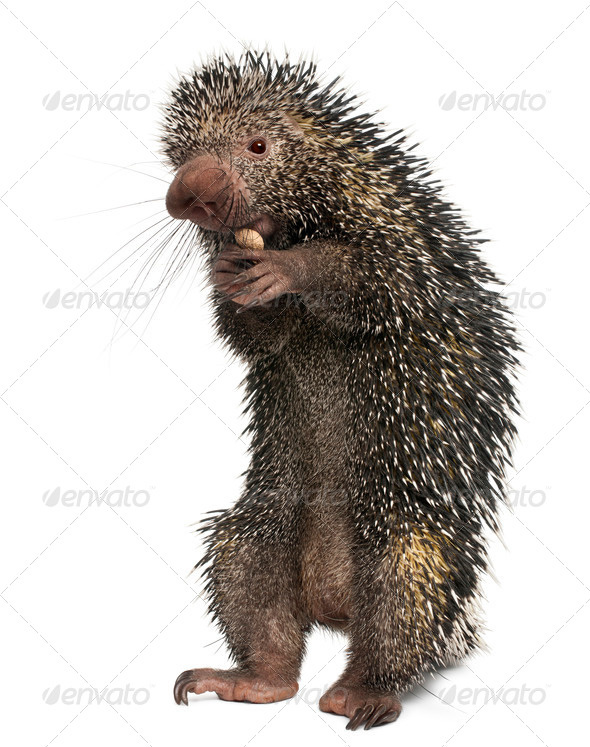 Brazilian Porcupine, Coendou prehensilis, eating peanut in front of white background - Stock Photo - Images