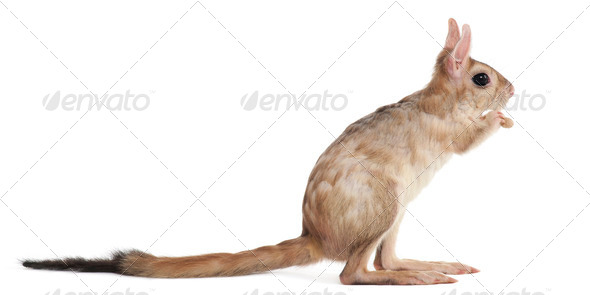 Side view of Springhare, Pedetes capensis, standing in front of white background - Stock Photo - Images