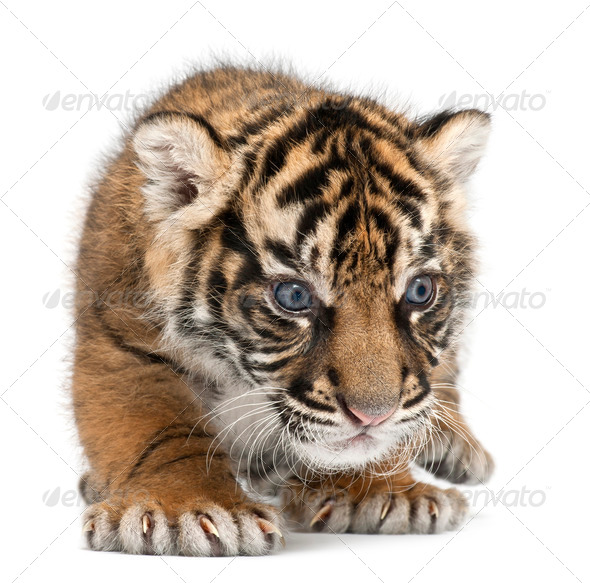 Sumatran Tiger cub, Panthera tigris sumatrae, 3 weeks old, in front of white background - Stock Photo - Images