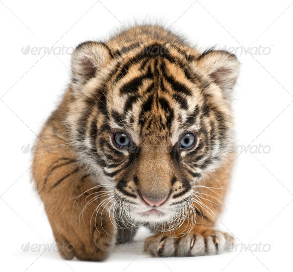 Sumatran Tiger cub, Panthera tigris sumatrae, 3 weeks old, in front of white background - Stock Photo - Images