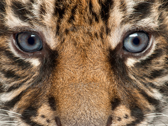 Close-up of Sumatran Tiger cub, Panthera tigris sumatrae, 3 weeks old - Stock Photo - Images