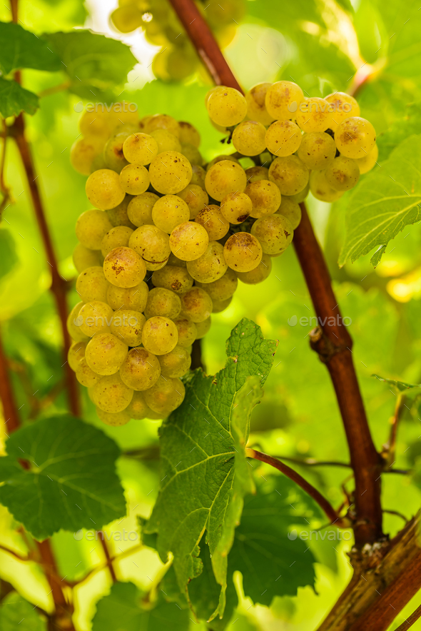White grape in a vineyard during autumn - Stock Photo - Images