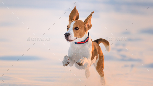 Domestic Dog, Beagle, adult, running on snow covered field - Stock Photo - Images