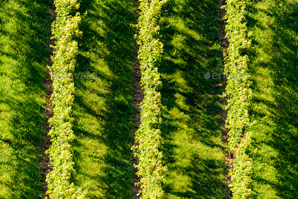 White grape crops in a vineyard during autumn - Stock Photo - Images