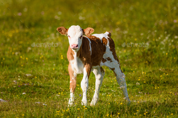 Cows on a meadow in Alps Austria. Schockl mountain above Graz place to visit - Stock Photo - Images