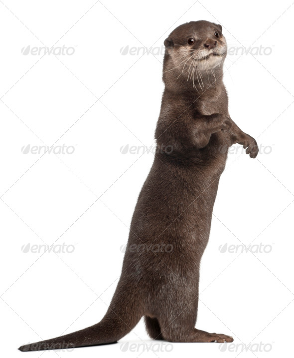 Oriental small-clawed otter, Amblonyx Cinereus, 5 years old, standing in front of white background - Stock Photo - Images